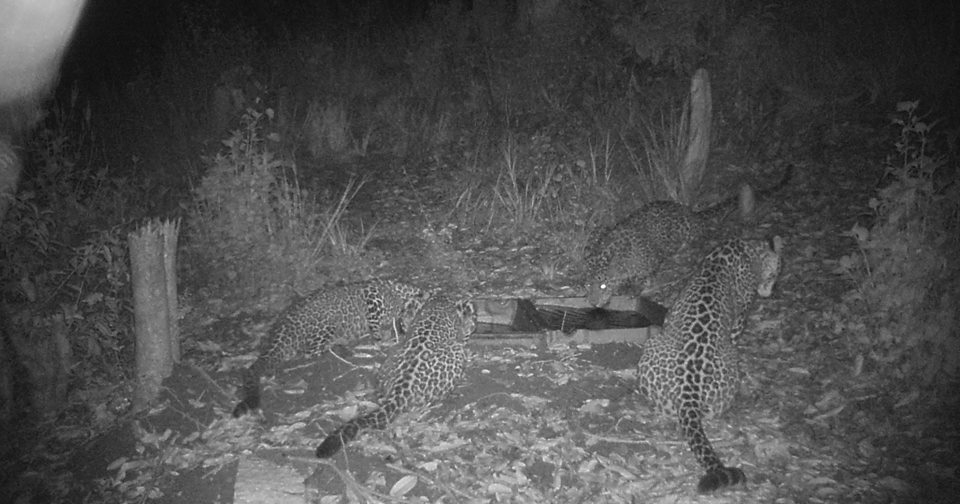 Chandragirinews Adult-Female-Leopard-with-three-cubs केबलकारको क्यामेराले चितुवा तथा मृग देखायो ! थानकोट नगरपालिका    chandragiri, chandragiri news, chandragiri hills, chandragiri cabel car, thankot, satungal, naikap, balambu, matatirtha