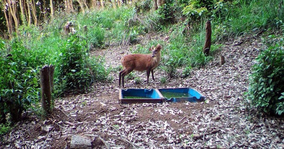 "Chandragirinews Barking-Deer-""Muntiacus केबलकारको क्यामेराले चितुवा तथा मृग देखायो ! थानकोट नगरपालिका    chandragiri"